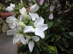 町で見かけた花シリーズ09hana066