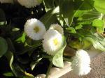 町で見かけた花シリーズhana09076