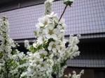町で見かけた花シリーズhana09093