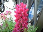 町で見かけた花シリーズhana09115