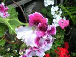 町で見かけた花シリーズhana09142