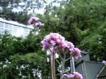町で見かけた花シリーズhana09148