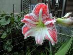 町で見かけた花シリーズhana09163