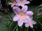 町で見かけた花シリーズ09169