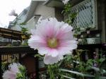 町で見かけた花シリーズhana09201