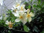 町で見かけた花シリーズhana09203