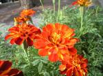 町で見かけた花シリーズhana09214