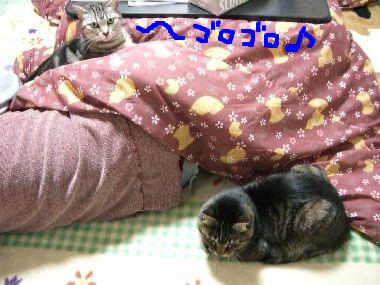 kotatsu_cat1.jpg