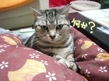 kotatsu_cat2.jpg