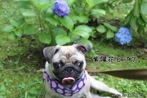 紫陽花とパグ。