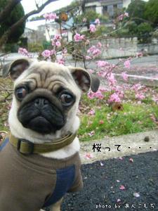 あんこと桜。