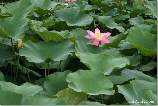 oga_lotus20090704_2.jpg
