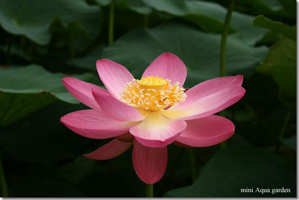 oga_lotus20090704_4.jpg