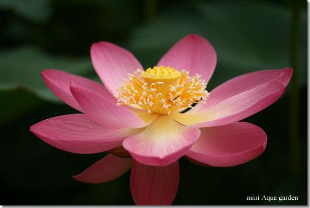 oga_lotus20090704_5.jpg