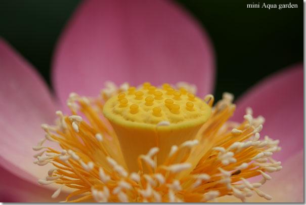 oga_lotus20090704_6.jpg