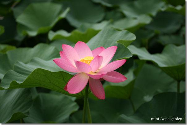 oga_lotus20090704_8.jpg