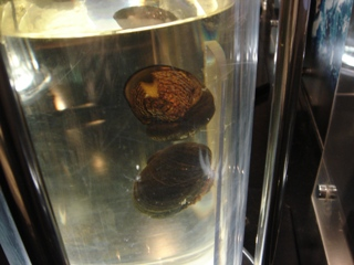 鉄のうろこを持った貝