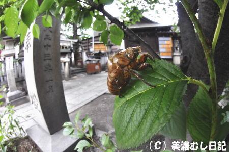 090711endoji-kumazemiukagara0361.jpg