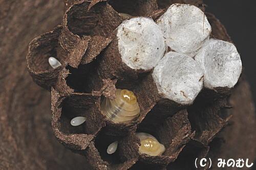 スズメバチ巣1