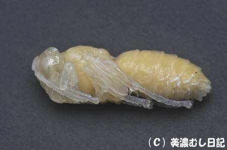 スズメバチ蛹2
