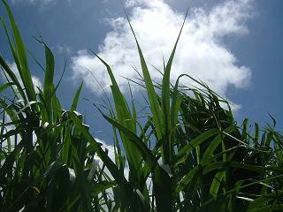 さとうきび畑と青空
