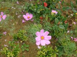 この時期にコスモス咲いているんです!