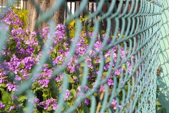 向こうの花