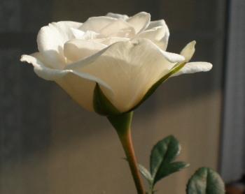 白いみにバラ