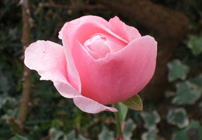ピンクのばら玄関