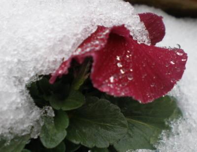 雪パンジー