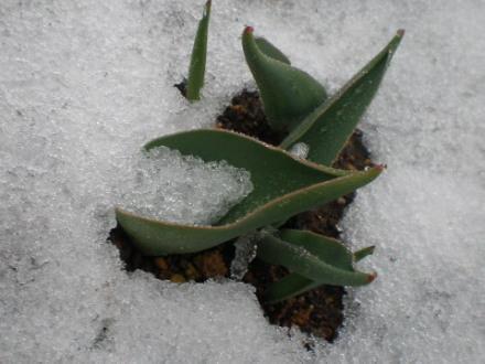 雪チューリップ