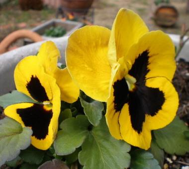 種まきぱんじーダブル黄色