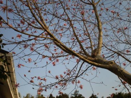 姫こぶしの木