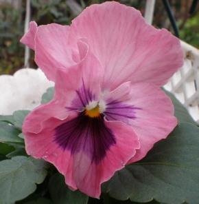 種まきピンク