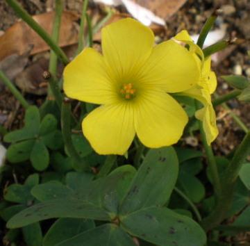オキザリス黄色