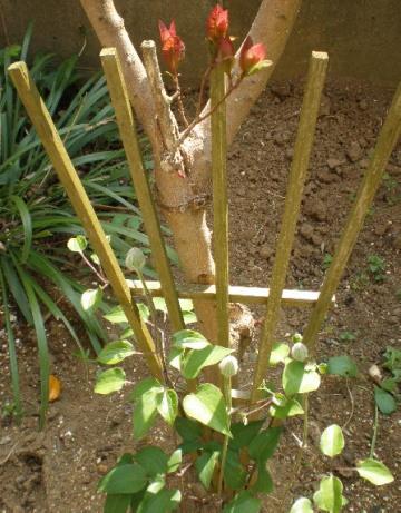 クレマチスとスモークツリー