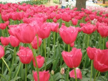 フリンジ咲き赤