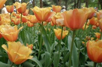 フリンジ咲き橙