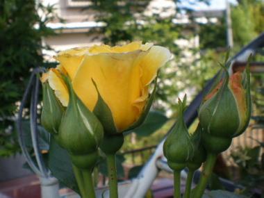黄色つぼみ