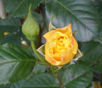 黄色つぼみ1