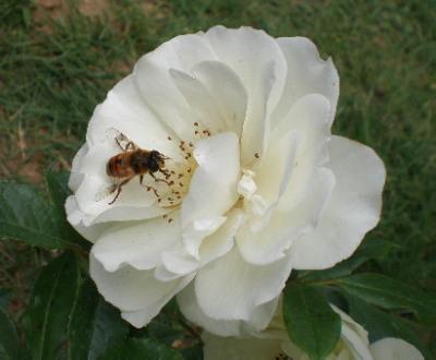 あいすばーぐ蜂