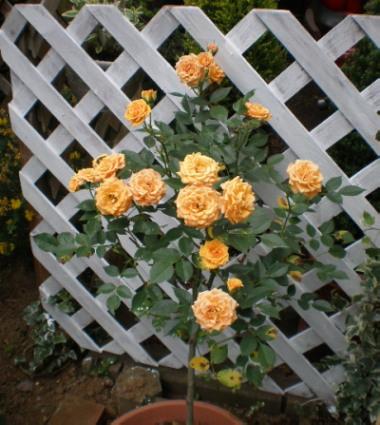 オレンジミニバラ
