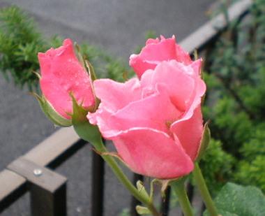 ピンクのバラ1