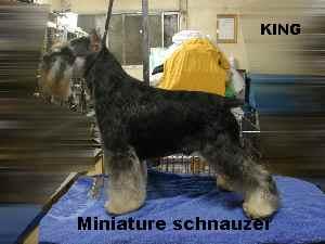 Miniatureschnauzer1.jpg