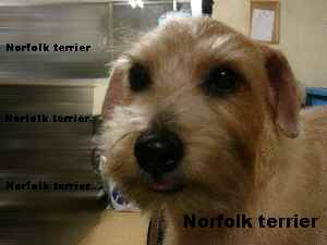 Norfolkterrier1.jpg