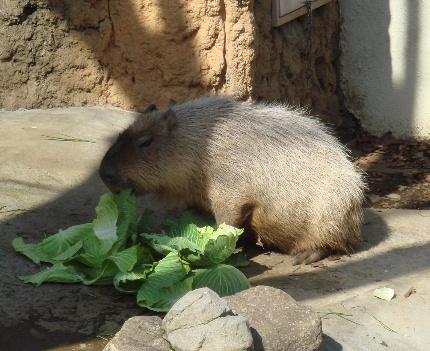 0721kapibara.jpg