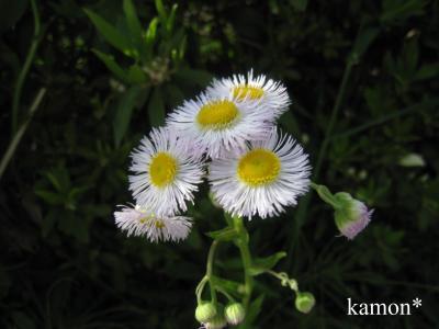 びんぼう草
