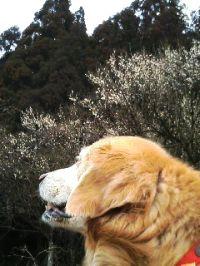 梅を見上げるハニーさん