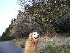 梅の木とハニー