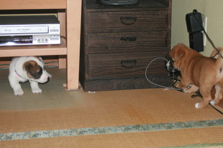 居間で遊ぶワンコたち(2)
